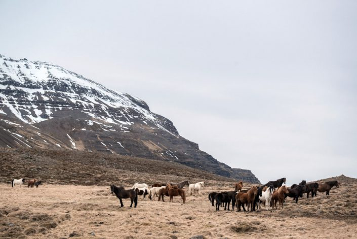 chevaux islandais