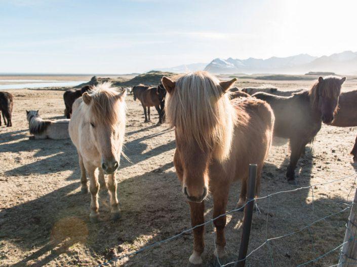 cheveux islandais au coucher du soleil